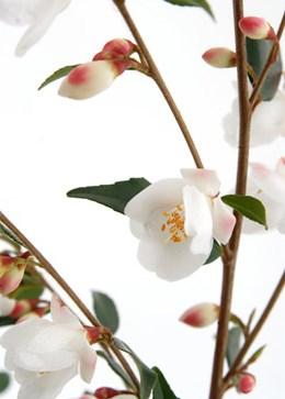 Camellia rosthorniana Cupido ('Elina')  (PBR) (camellia)