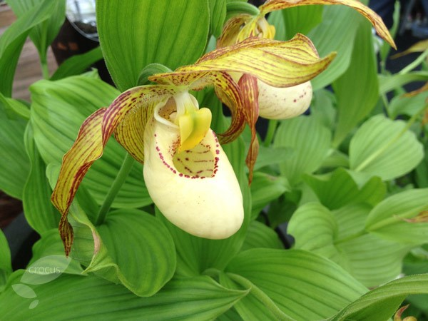 hardy lady's slipper orchid