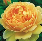 Rosa Golden Celebration = 'Ausgold'  (PBR)