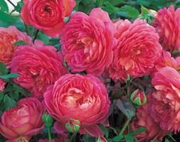 Rosa Jubilee Celebration ('Aushunter')  (PBR) (rose Jubilee Celebration  (shrub))