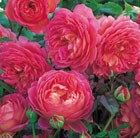 Rosa Jubilee Celebration = 'Aushunter'  (PBR)