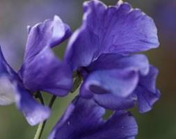 Lathyrus odoratus 'Linda C' (spencer sweet pea Linda C)