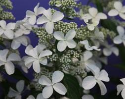 Hydrangea paniculata 'Levana' (hydrangea)