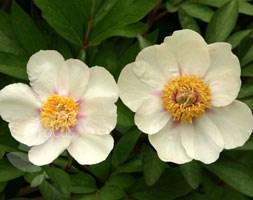Paeonia lactiflora 'Starlight' (peony)