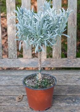 Lavandula angustifolia 'mini stem standard' (lavender mini-standard)