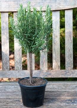 Rosmarinus officinalis 'mini stem standard' (rosemary mini standard)