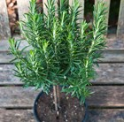 Rosmarinus officinalis mini stem standard
