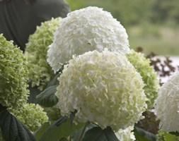 Hydrangea arborescens Strong Annabelle ('Abetwo') (sevenbark ( Incrediball ))