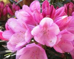Rhododendron 'Graziella' (rhododendron)