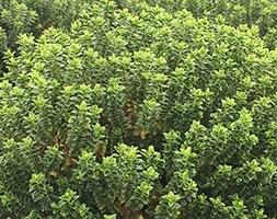 Hebe buxifolia (shrubby veronica)