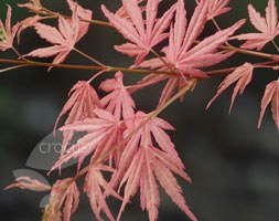 Acer palmatum 'Taylor' (PBR) (Japanese maple)