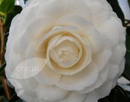 Camellia japonica 'Matterhorn' (camellia)