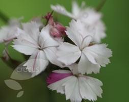 Dianthus 'Miss Farrow' (pink)