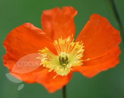 Papaver nudicaule 'Champagne Bubbles F1 Orange' (Iceland poppy)