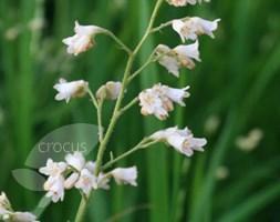 Heuchera sanguinea 'White Cloud' (coral bells)