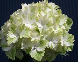 Hydrangea 'Magical Jade = 'Hortmaja' (PBR)' (hydrangea)
