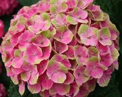 Hydrangea 'Magical Amethyst = 'Hokomathyst' (PBR)' (hydrangea)