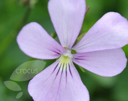 Viola cornuta 'Victoria's Blush' (horned violet)