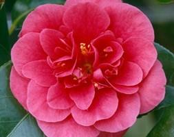 Camellia japonica 'Lady Campbell' (camellia)