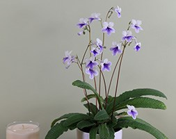 Streptocarpus 'Crystal Ice' (PBR) (Streptocarpus in a ceramic gift pot)