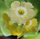 Primula auricula Lucky Locket
