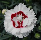Dianthus Coconut Sundae = 'Wp05 Yves' (Scent First Series) (PBR)