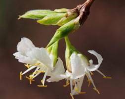 Lonicera fragrantissima (winter honeysuckle)
