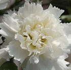 Dianthus Memories ('WP11 Gwe04') (Scent First Series)  (PBR)