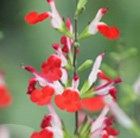 Salvia × jamensis Hot Lips