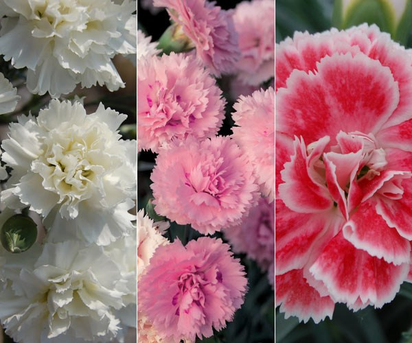 Three exquisite pinks, chosen by plant buyer John Hiorns