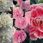 Dianthus Scent First Pink Collection