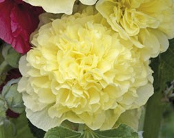 Alcea rosea Chater's Double Group yellow-flowered (hollyhock)