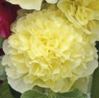 Alcea rosea Chater's Double Group yellow-flowered