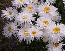 Leucanthemum 'Sante' (shasta daisy)
