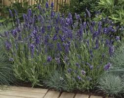 Lavandula angustifolia 'Ellagance Purple' (lavender)