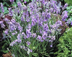Lavandula angustifolia 'Ellagance Sky' (lavender)