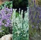 Ellagance Lavandula collection