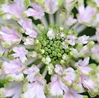 Scabiosa Magic = 'Pmoore02'