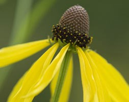 Ratibida pinnata (drooping coneflower)
