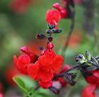 Salvia Royal Bumble