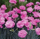 Dianthus Tickled Pink = ('Devon PP 11') (Scent First Series) (PBR)