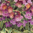 Erysimum Stars and Stripes