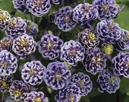 Aquilegia Winky Blue-White (granny's bonnet)