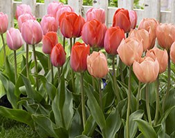 world's tallest tulips