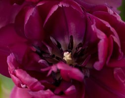 Tulipa 'Purple Jacket' (double late tulip bulbs)