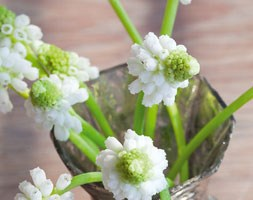 Muscari botryoides 'Album' (grape hyacinth)