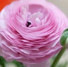 Ranunculus Pink Perfection