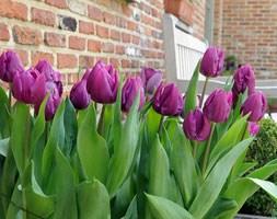 Tulipa 'Purple Prince' (single late tulip bulbs)
