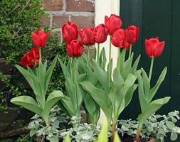 Tulipa 'Princesse Charmante' (greigii tulip bulbs)