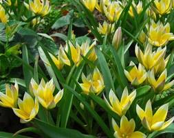 Tulipa tarda (species tulip bulbs)